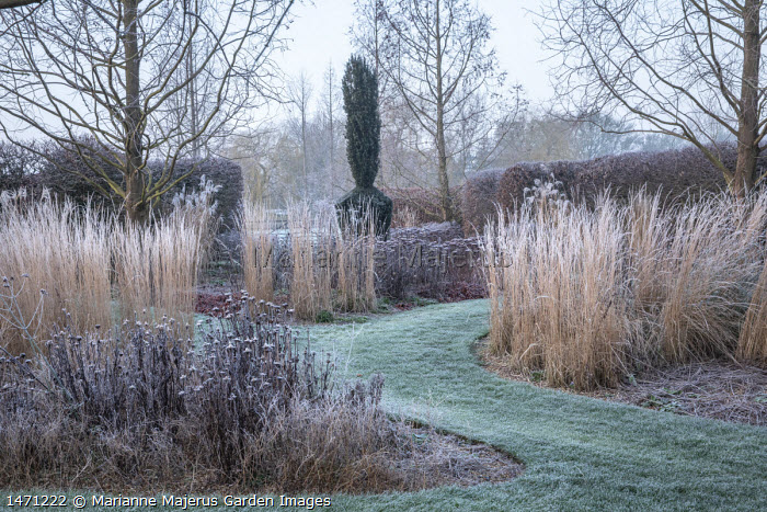 Frosted grass stems and seedheads, grass path