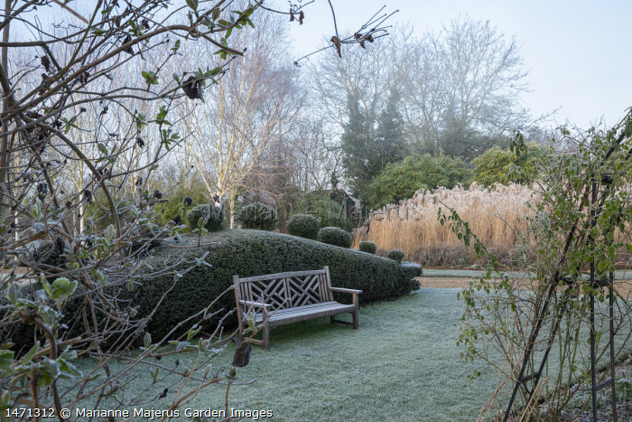 Clipped yew dragon hedge, wooden bench on lawn, miscanthus