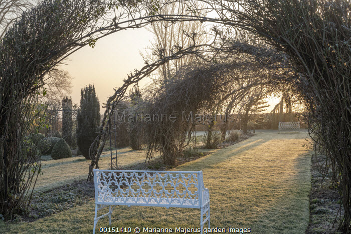 Laburnum trained over metal arch tunnel, grass path, benches, framed view