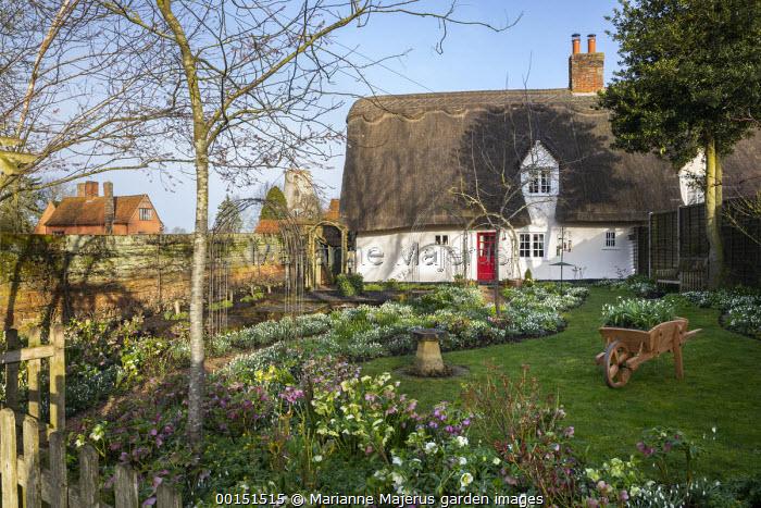 Helleborus x hybridus and snowdrops in front garden, thatched cottage, bird bath
