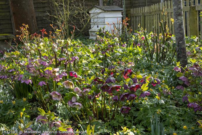 Helleborus x hybridus in front garden, wooden beehive