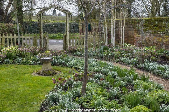 Helleborus x hybridus and snowdrops along path in front garden, stone bird bath, wooden archway