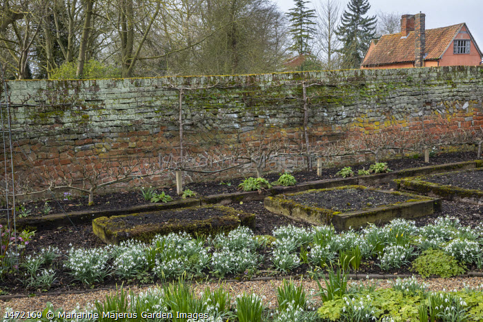 Snowdrops along path in front garden, step-over trained apple trees