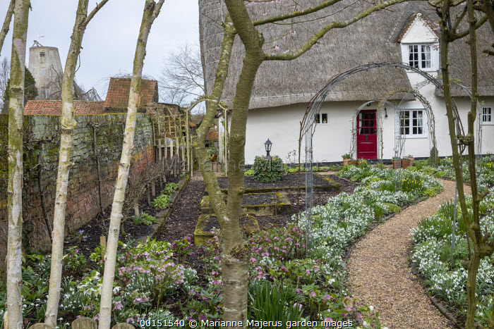 Helleborus x hybridus and snowdrops in front garden, thatched cottage