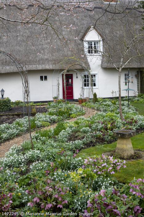 Helleborus x hybridus and snowdrops along path in front garden, thatched cottage, bird bath