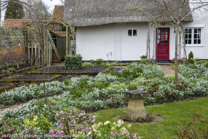 Helleborus x hybridus and snowdrops along path in front garden, thatched cottage, stone bird bath