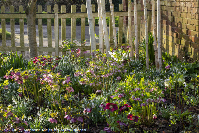 Helleborus x hybridus and snowdrops, wooden picket fence