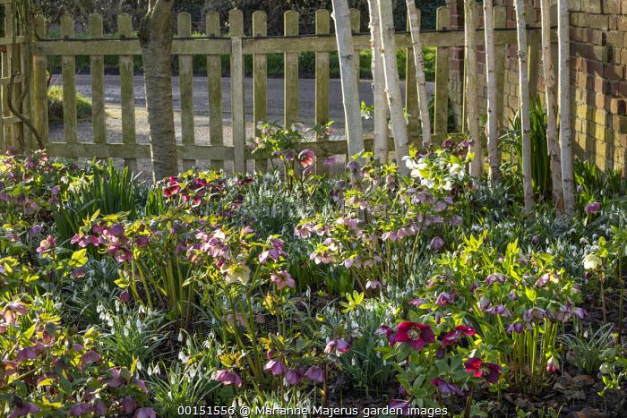 Helleborus x hybridus and snowdrops, wooden picket fence