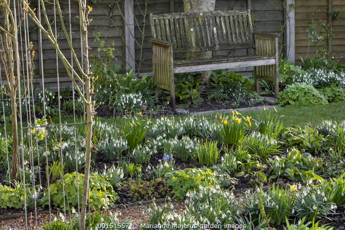 Wooden bench, border of snowdrops