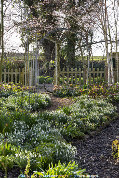 Helleborus x hybridus and snowdrops along path in front garden, wooden archway, bicycle