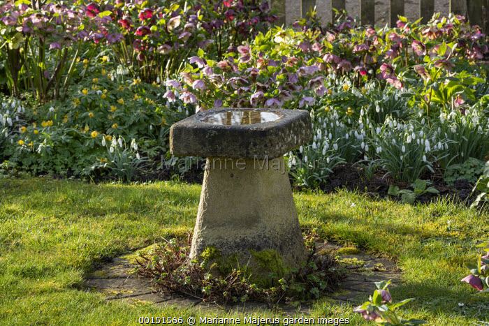 Helleborus x hybridus and snowdrops in front garden, stone bird bath, Eranthis hyemalis