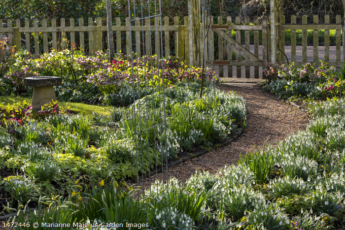 Helleborus x hybridus and snowdrops along path in front garden, stone bird bath, bicycle