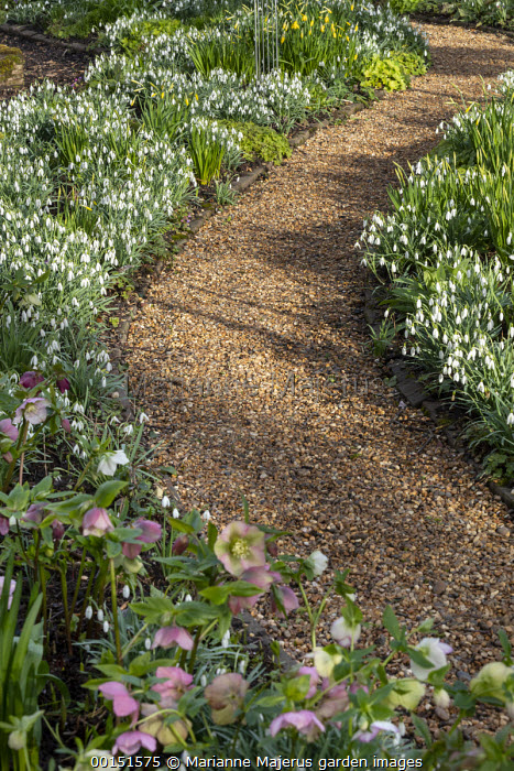 Helleborus x hybridus and snowdrops along curving path in front garden