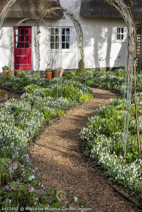 Helleborus x hybridus and snowdrops along curving path in front garden, thatched cottage, metal arches