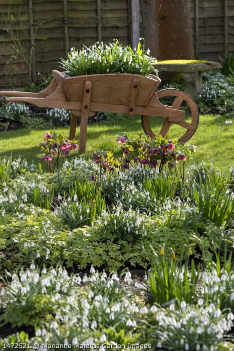 Helleborus x hybridus and snowdrops in front garden, snowdrops in wooden wheelbarrow