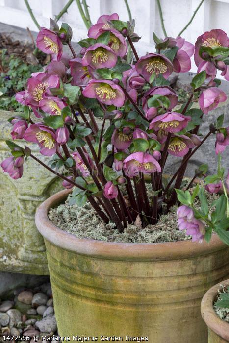 Hellebore in terracotta pots