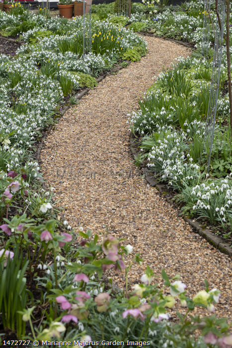 Helleborus x hybridus and snowdrops along curving gravel path in front garden