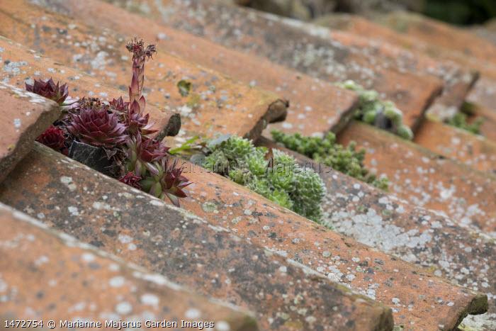Sempervivums in roof cracks, terracotta tiles