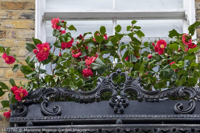 Camellia japonica in windowbox