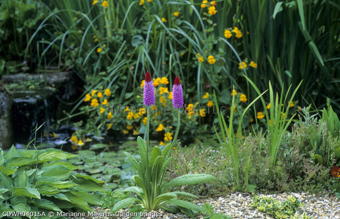 Primula vialii in gravel bed by waterfall, hosta