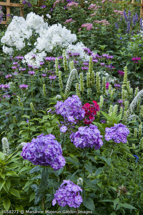 Phlox paniculata 'Skylight', Agastache rugosa f. albiflora 'Liquorice White', Phlox paniculata 'Alba Grandiflora', Monarda 'Mohawk'