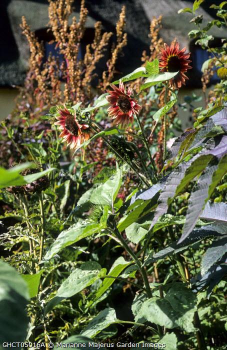 Helianthus annuus 'Ruby Eclipse' in border with Ricinus communis 'Carmencita'