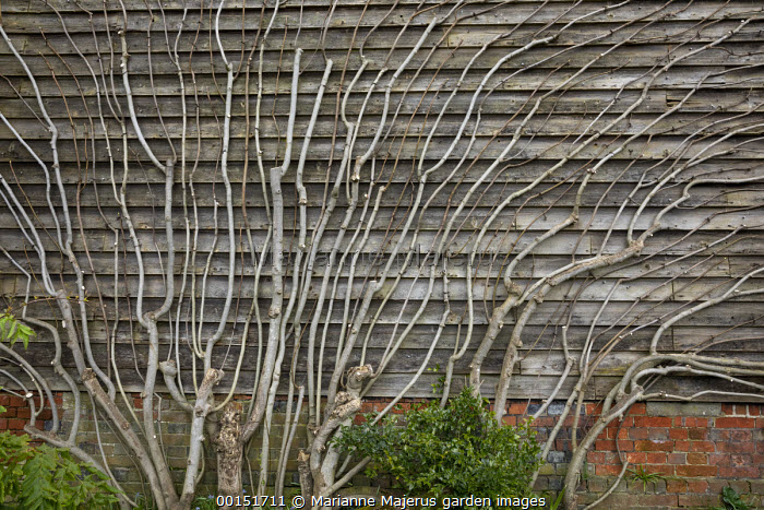 Ficus carica trained against wooden barn wall
