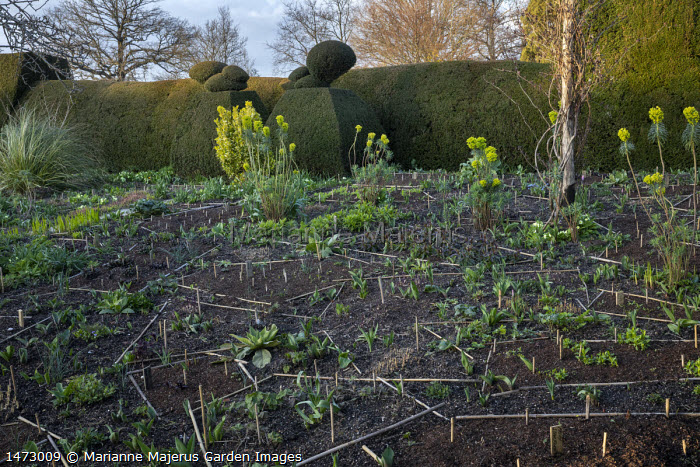 Bamboo canes marking out areas in border with perennial planting, garden design and planning, mulch, Euphorbia characias subsp. wulfenii, clipped yew hedge and topiary