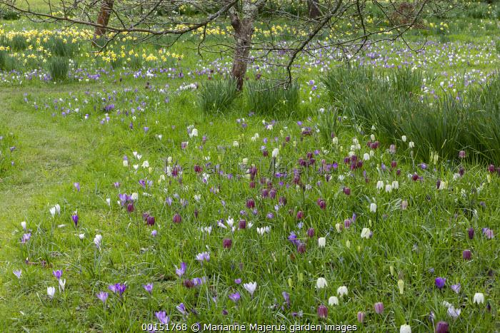 Fritillaria meleagris and Crocus vernus naturalised in long grass meadow, mown grass path, dappled shade