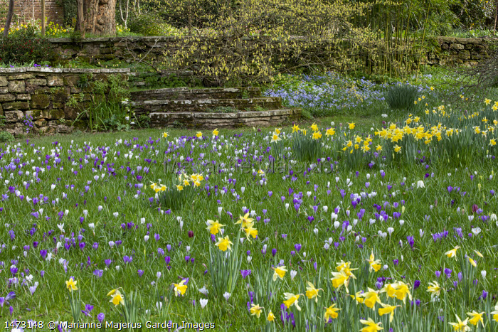 Carpet of Crocus vernus and Narcissus pseudonarcissus naturalised in long grass, stone steps