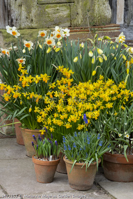 Display of Narcissus 'Barrett Browning', muscari, tulips and hyacinths in terracotta pots on patio, Narcissus cyclamineus 'Tete-a-tete', Narcissus 'Jetfire', Hyacinthus orientalis 'Delft Blue'
