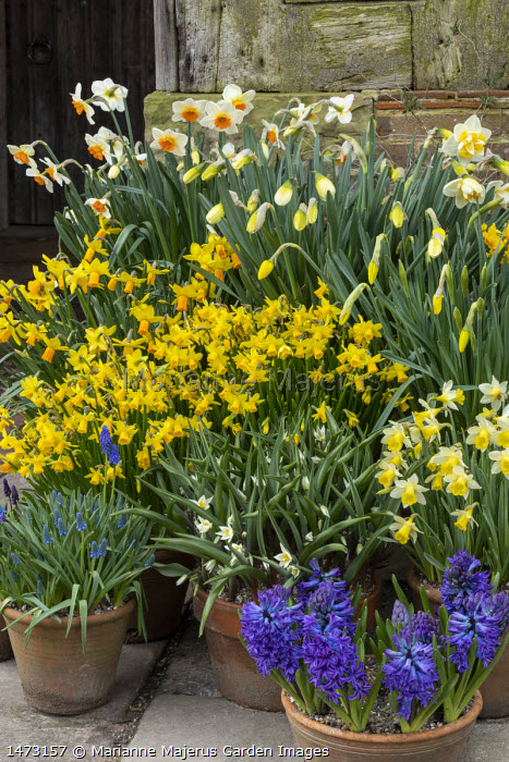 Tulipa turkestanica, Narcissus cyclamineus 'Tete-a-tete', Narcissus 'Barrett Browning', Hyacinthus orientalis 'Blue Delft' and muscari in terracotta pots on patio by front door
