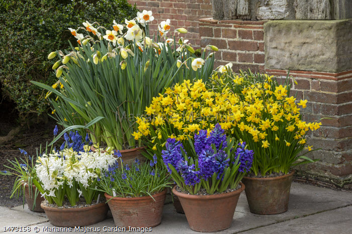 Narcissus cyclamineus 'Tete-a-tete', Narcissus 'Barrett Browning', Hyacinthus orientalis 'Blue Delft' and 'White Pearl', muscari in terracotta pots on patio by front door
