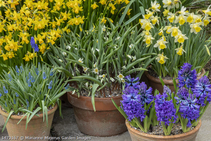 Tulipa turkestanica, Narcissus cyclamineus 'Tete-a-tete', Hyacinthus orientalis 'Blue Delft' and Muscari latifolium in terracotta pots on patio
