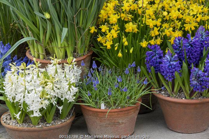 Narcissus cyclamineus 'Tete-a-tete', Hyacinthus orientalis 'Blue Delft' and 'White Pearl', muscari in terracotta pots on patio