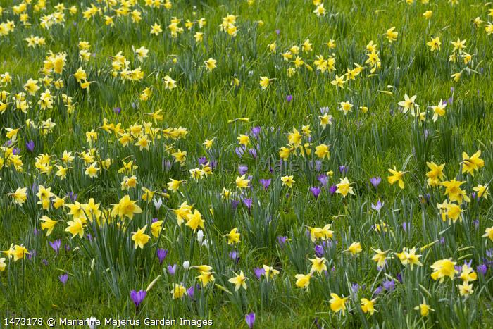 Narcissus pseudonarcissus and crocus naturalised in lawn
