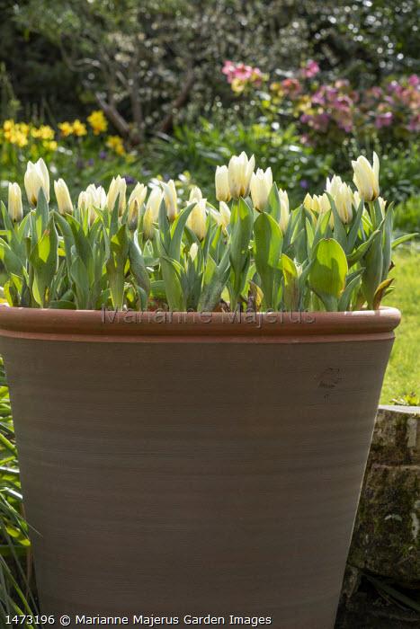 Tulipa 'Concerto' in tall terracotta pot