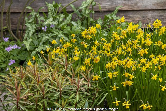Narcissus cyclamineus 'Tete-a-tete', Euphorbia griffithii 'Dixter', Arum italicum subsp. italicum 'Marmoratum', cardamine