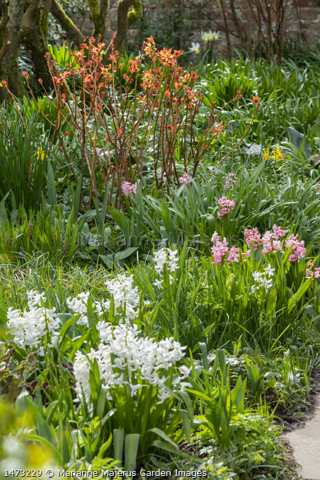 Spiraea japonica 'Goldflame', Hyacinthus orientalis 'White Pearl'