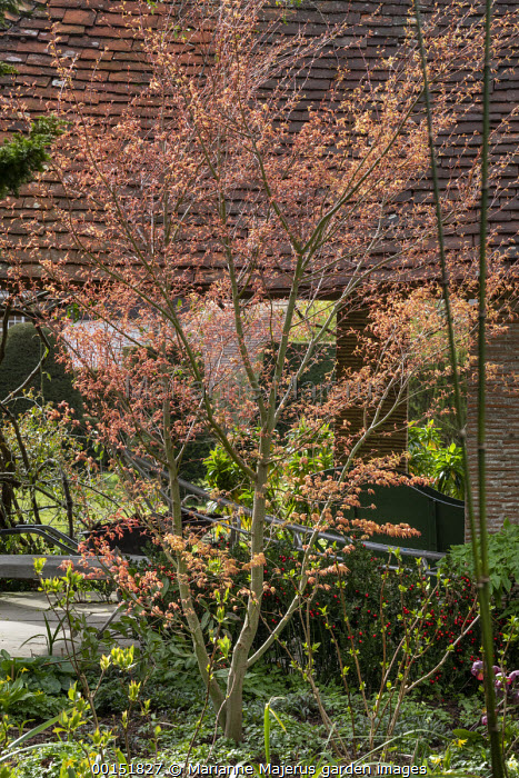 New shoots on Acer palmatum 'Katsura' underplanted with Ruscus aculeatus