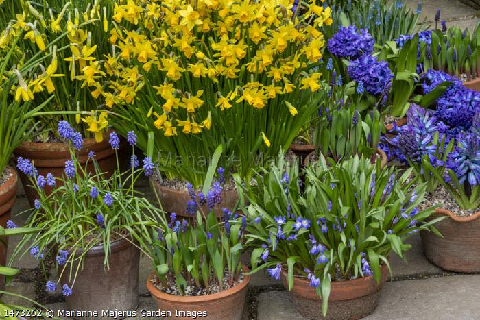 Narcissus cyclamineus 'Tete-a-tete', Hyacinthus orientalis 'Blue Delft', scilla and muscari in terracotta pots on patio