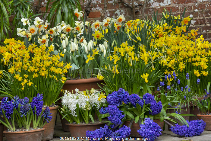 Narcissus cyclamineus 'Tete-a-tete', Hyacinthus orientalis 'Blue Delft' and 'White Pearl', Narcissus 'Barrett Browning', Tulipa 'Concerto', Muscari latifolium in terracotta pots displayed on patio by front door