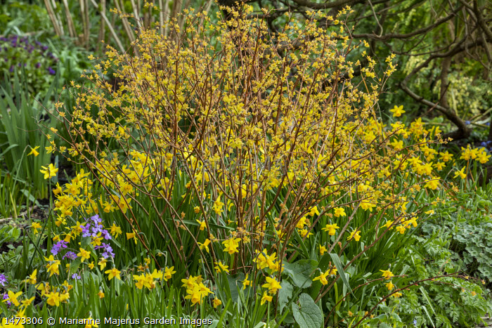 Narcissus cyclamineus 'Tete-a-tete' amongst Spiraea japonica 'Goldflame', new shoots
