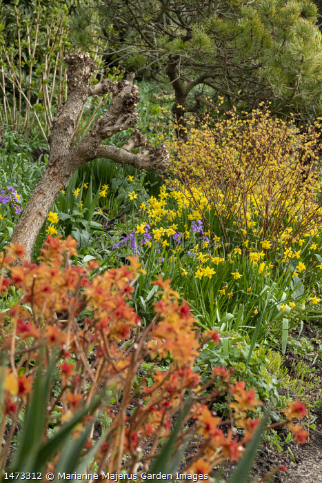 Spiraea japonica 'Goldflame' and 'Magic Carpet', Narcissus cyclamineus 'Tete-a-tete'