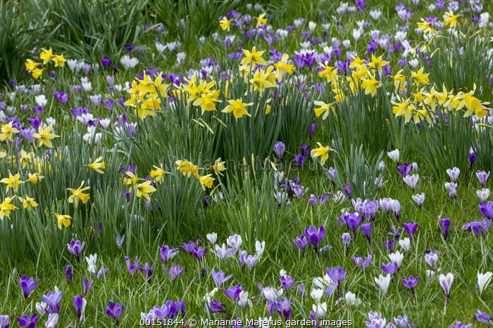 Carpet of Crocus vernus and Narcissus pseudonarcissus naturalised in long grass