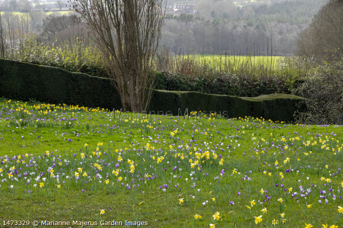 Carpet of Crocus vernus and Narcissus pseudonarcissus naturalised in long grass, clipped yew hedge
