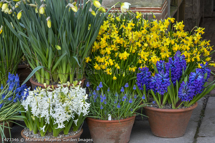 Narcissus cyclamineus 'Tete-a-tete', Hyacinthus orientalis 'Delft Blue', Hyacinthus orientalis'White Pearl', Muscari latifolium in terracotta pots on patio
