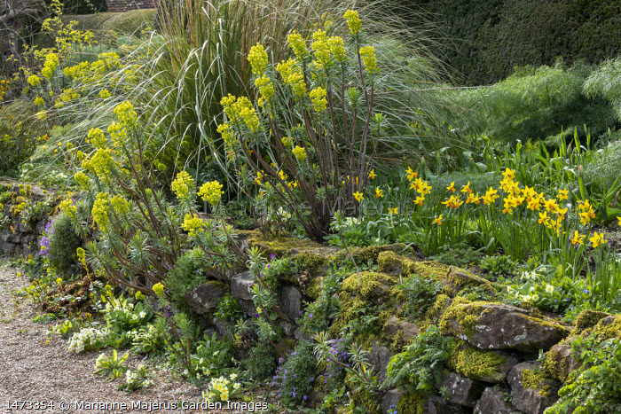 Euphorbia characias subsp wulfenii on stone wall, Primula vulgaris, Narcissus 'Jetfire'