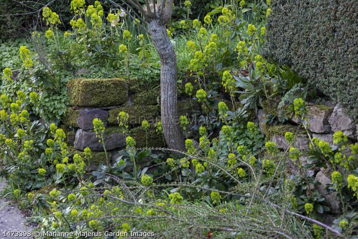 Dry-stone wall, Euphorbia amygdaloides var. robbiae
