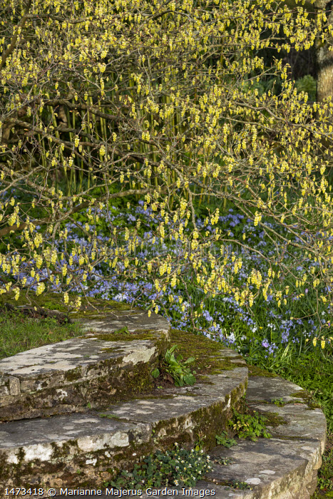 Corylopsis pauciflora underplanted with a carpet of scilla, Lutyens stone steps
